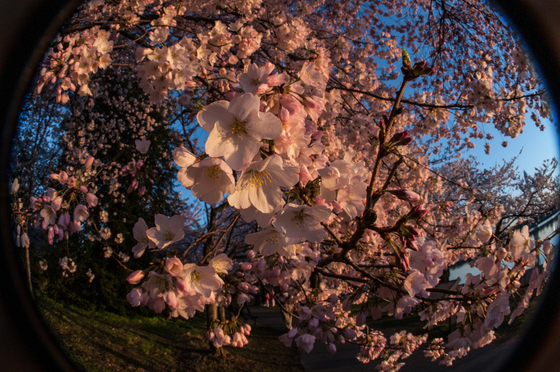 cherryblossoms-dc-2014-portraitstoryimages-3962