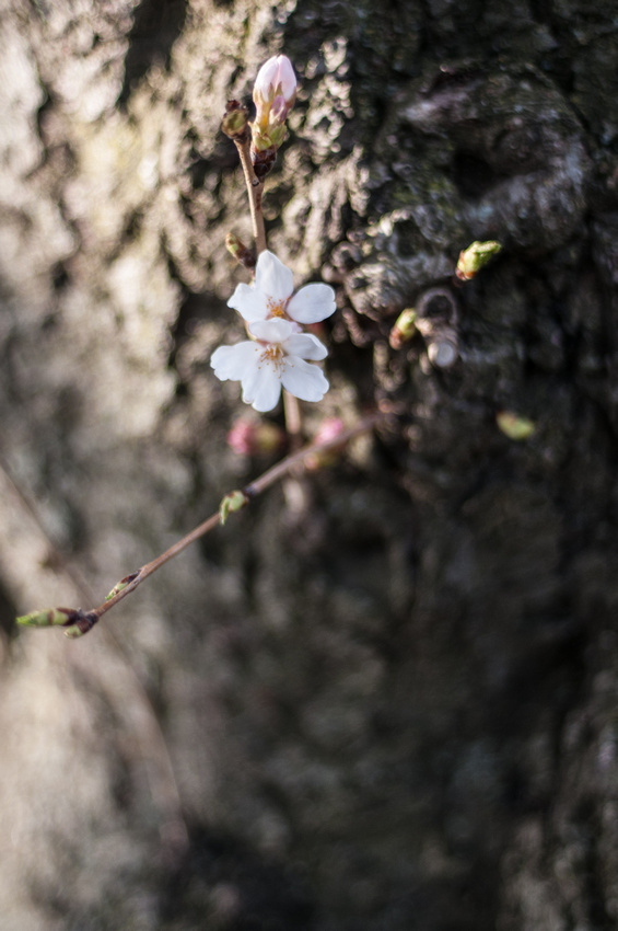cherryblossoms-dc-2014-portraitstoryimages-4038