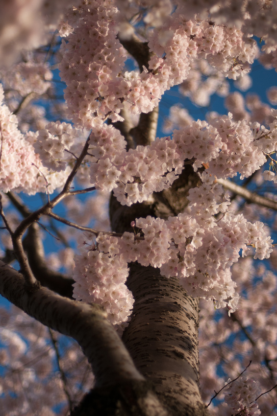 cherryblossoms-dc-2014-portraitstoryimages-4002