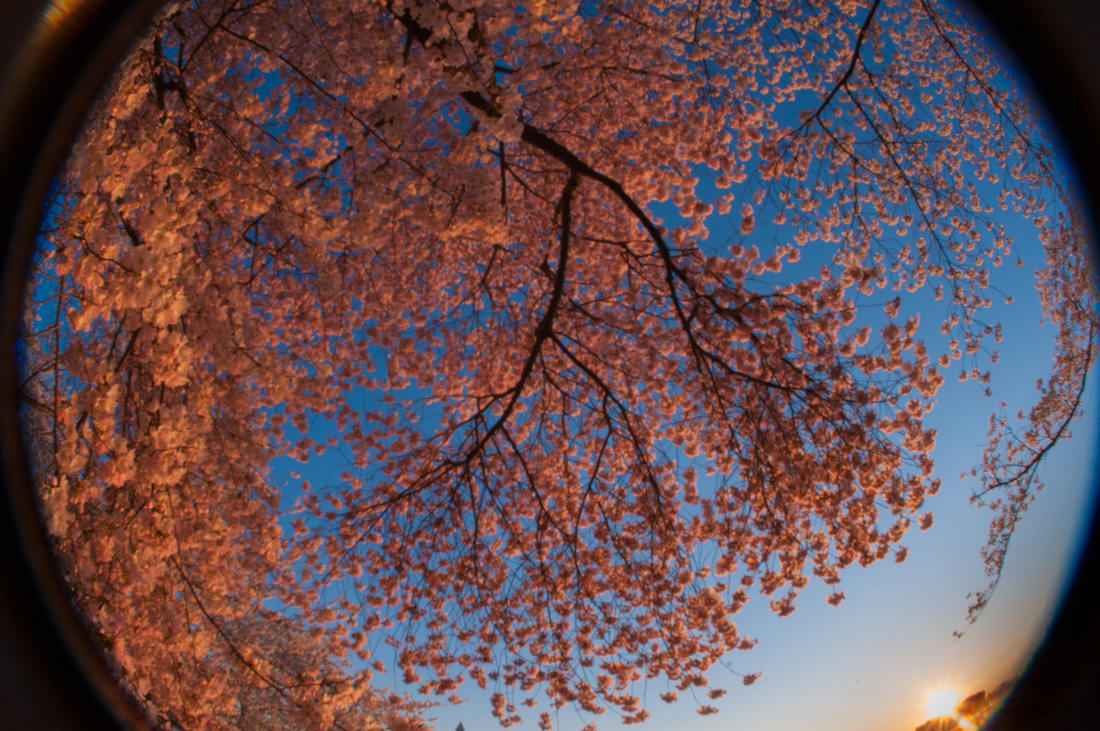 cherryblossoms-dc-2014-portraitstoryimages-3965