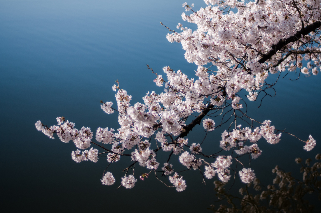 cherryblossoms-dc-2014-portraitstoryimages-4042